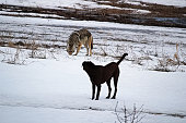 A domestic dog has it's first run in with a wild coyote.