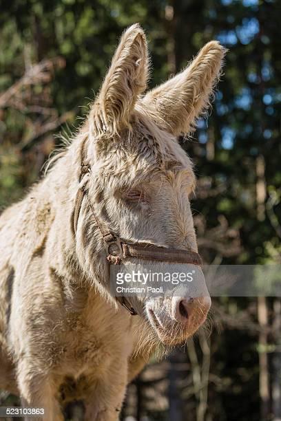 Domestic Donkey -Equus asinus asinus-, albino, Tyrol, Austria