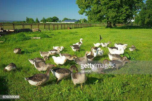Domestic geese in the meadow. : Photo