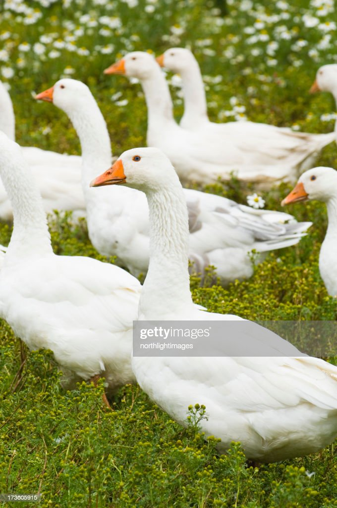Domestic geese : Stock Photo