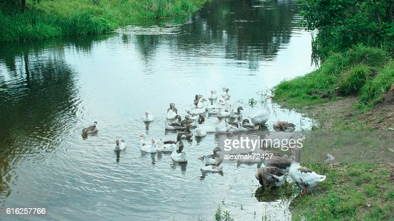 domestic geese swimming on the water : Stock Photo