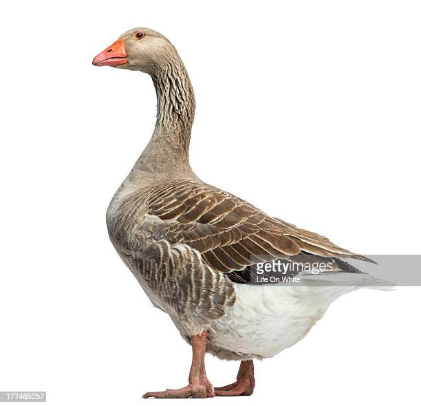 Domestic goose, Anser anser domesticus, standing