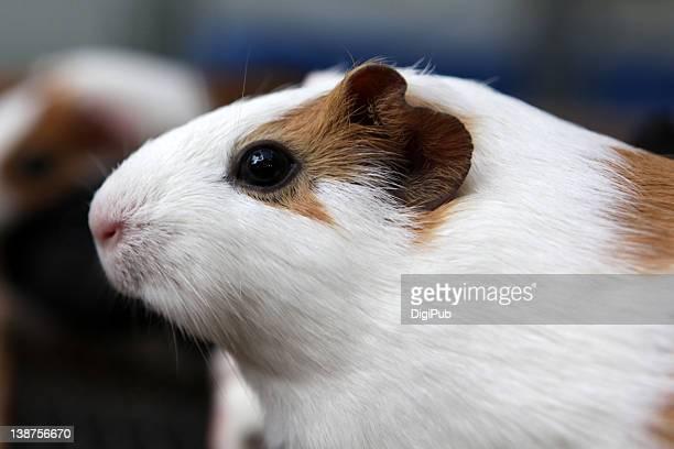 Domestic guinea pig