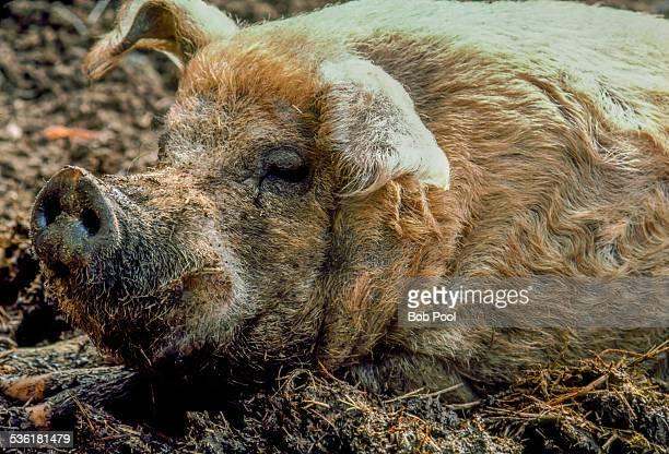 Domestic hog in mud