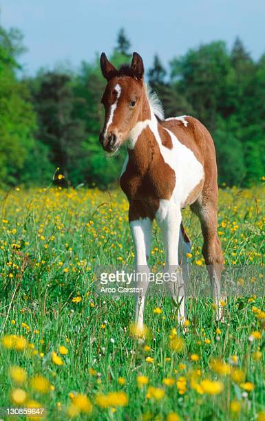 Domestic Horse, foal
