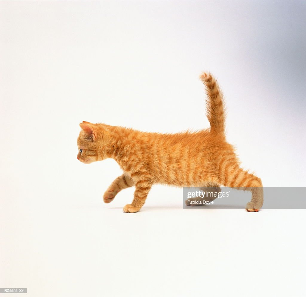 Domestic kitten against white background : Stock Photo