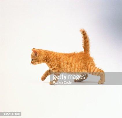 Domestic kitten against white background : Stock Photo