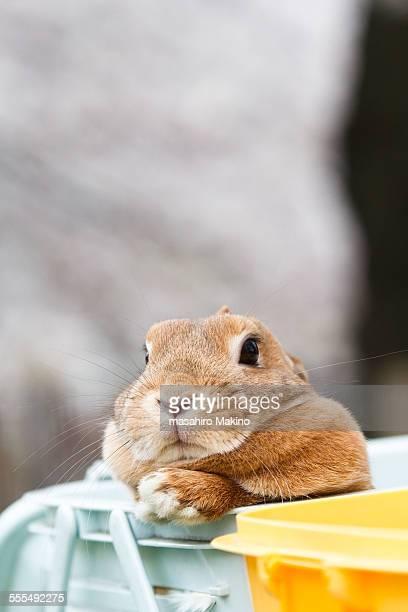 Domestic lop rabbit