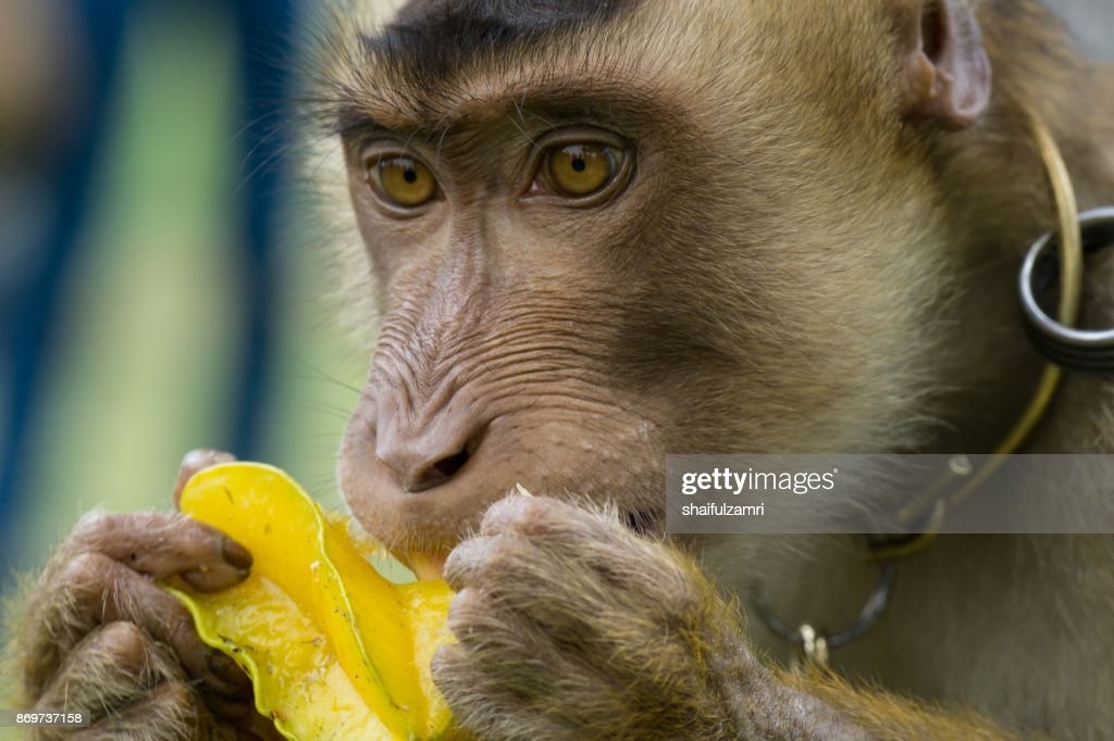 Domestic macaque monkey eating a star fruit in Kota Baharu, Malaysia : Stock Photo