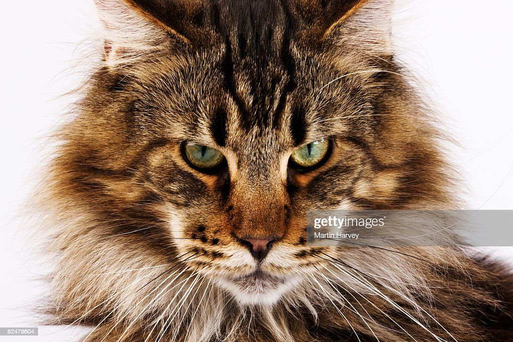 Domestic Main Coon cat against white background. : Stock Photo