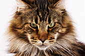 Domestic Main Coon cat against white background.