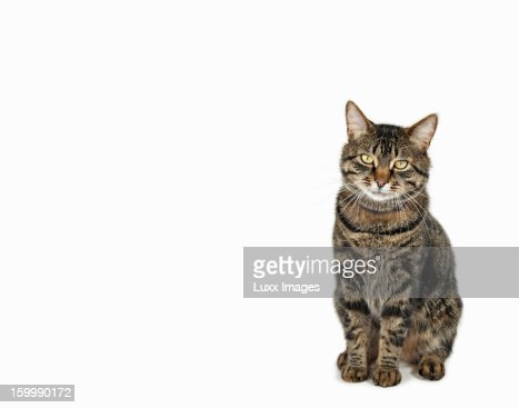 Domestic male tabby cat sitting : Stockfoto