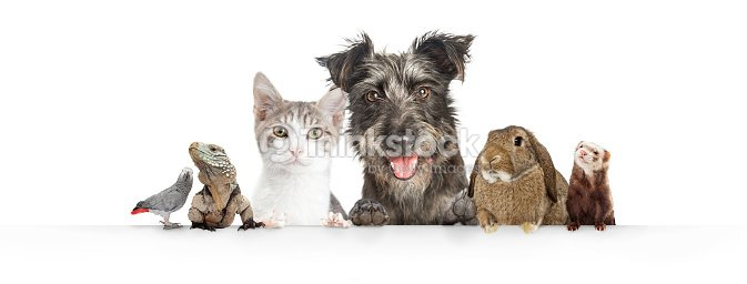 Domestic Pets Hanging Over White Website Banner : Stock Photo