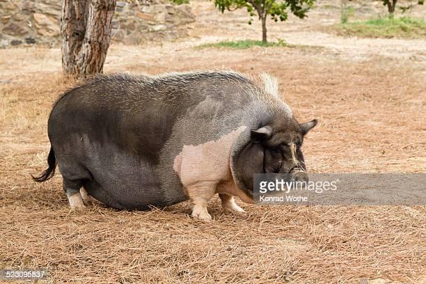 Domestic pig, pot-bellied pig -Sus scrofa domestica-, Portugal, Europe