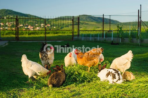 Domestic Poultry And Rabbits Eating Grass Together Stock Photo