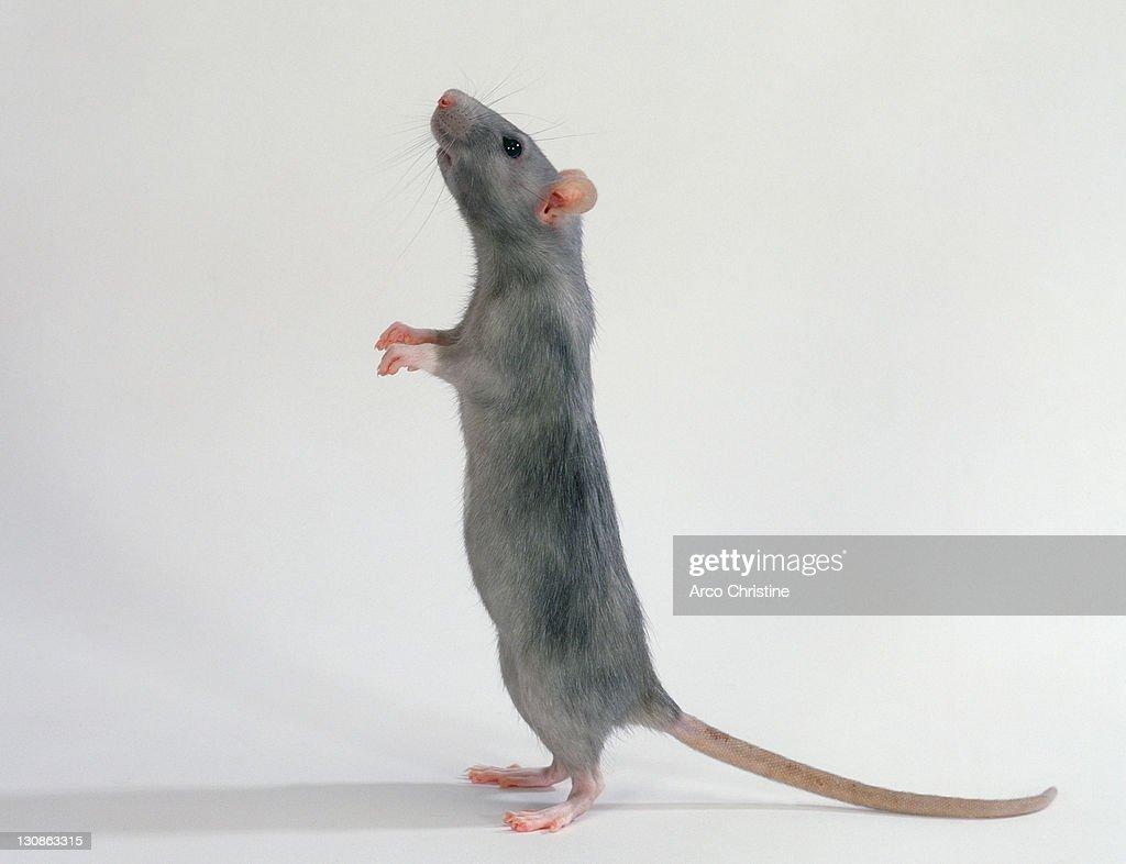 Domestic Rat, blue