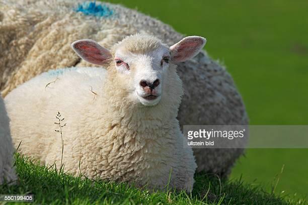 domestic sheep ewe lamb on a dike