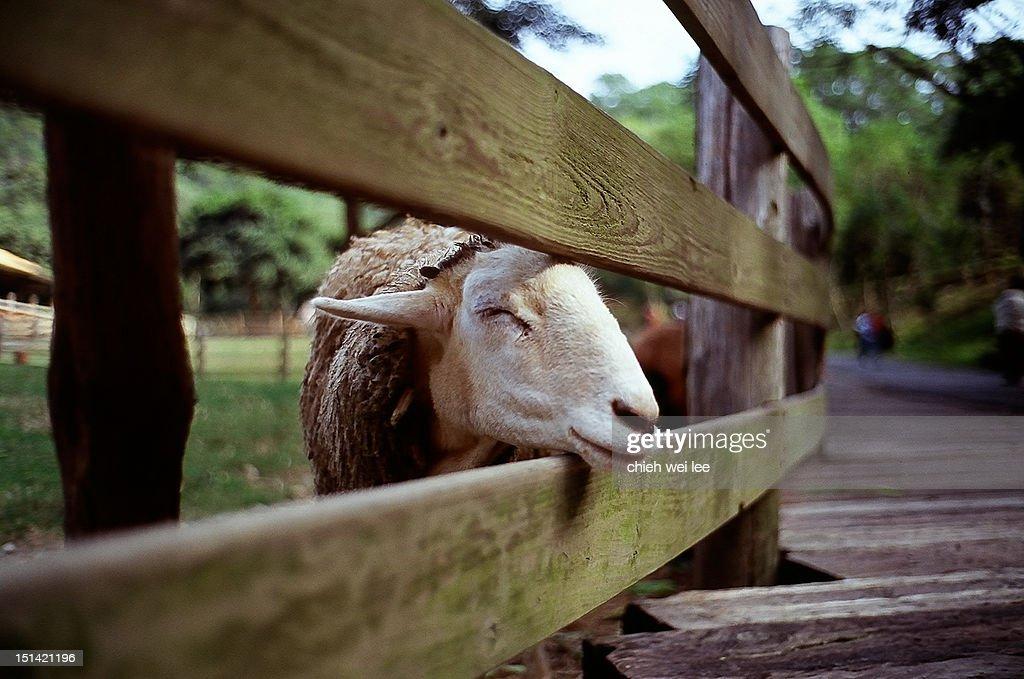 Domestic sheep : Stock Photo