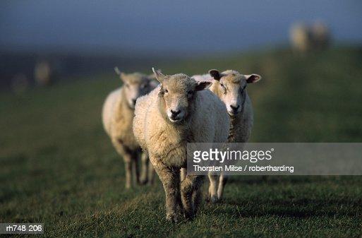 Domestic Sheep, Westerhever, Schleswig-Holstein, Germany
