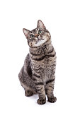 Portrait of a 10 month old domestic shorthair kitten with gray stripes standing looking up isolated on white background