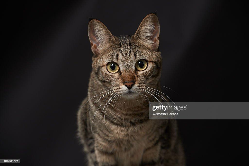 Domestic tabby cat : Stock Photo