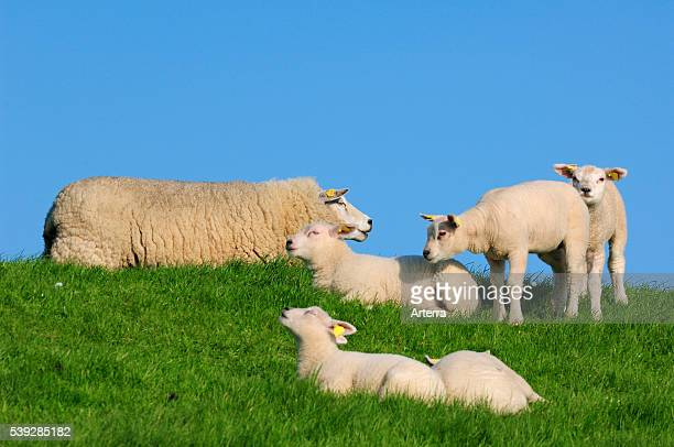 Domestic Texel sheep ewe with lambs resting in meadow Netherlands