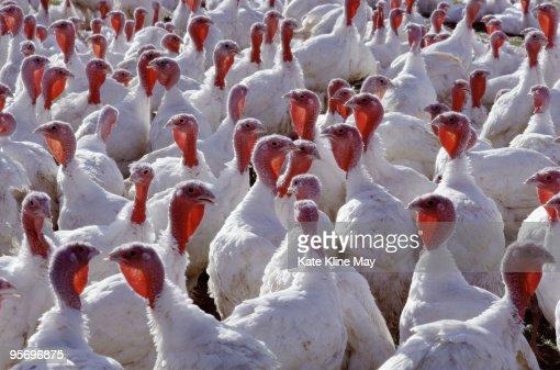 Domestic turkeys : Stockfoto