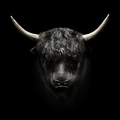 domestic yak face on black background