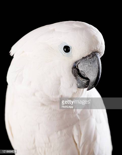 Domesticated Cockatoo