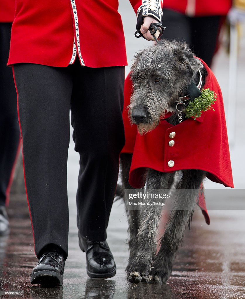 Domhall, the Irish Wolf Hound Regimental Mascot of the Irish Guards takes part in the St Patrick's Day Parade at Mons Barracks on March 17, 2013 in Aldershot, England.