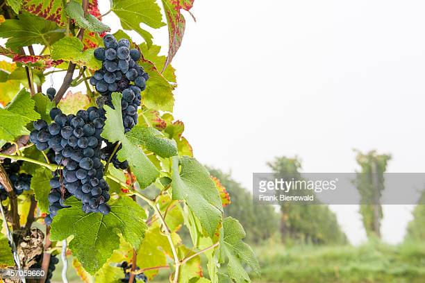 'Domina' grapes are growing at the large vineyards of the winery 'Juliusspital Wuerzburg'
