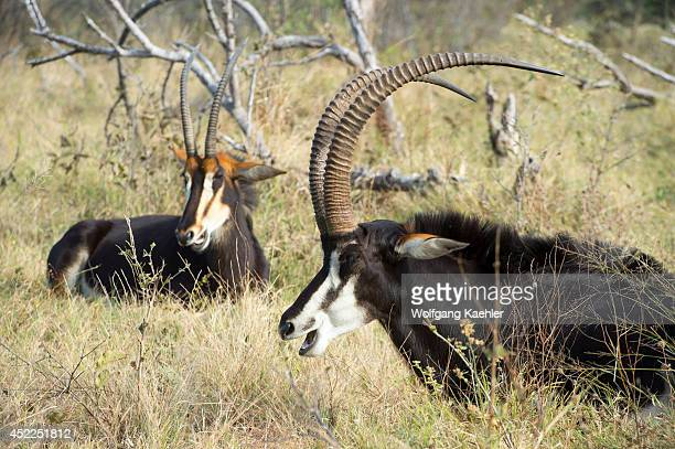A dominant Sable antelope male and his family group is resting and ruminating after feeding at the Vumbura Plains in the Okavango Delta in northern...