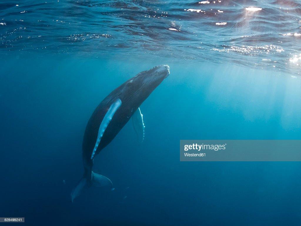 Dominican Republic, Silverbanks, Humpback whale, Megaptera novaeangliae