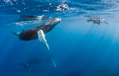 Dominican Republic, Silverbanks, Humpback whales, Megaptera novaeangliae, and divers