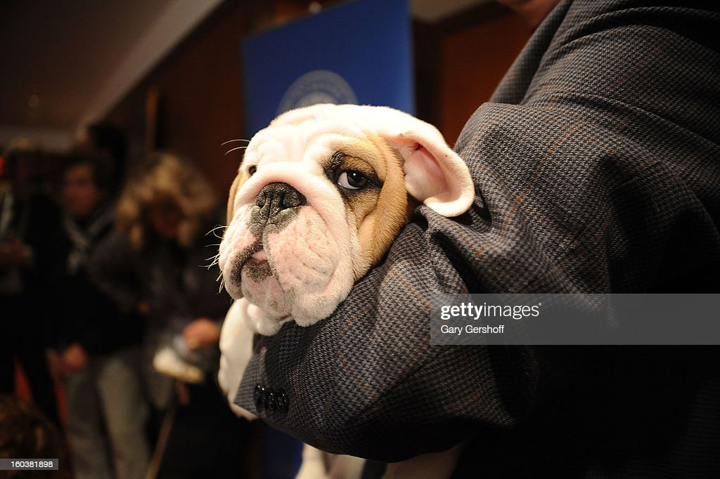 Dominique, a Bulldog puppy poses for pictures as the American Kennel Club Announces Most Popular Dogs in the U.S. on January 30, 2013 in New York City.