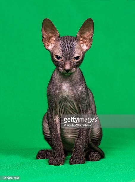Don sphynx kitten on a green background
