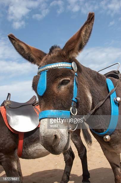 Donkey at the seaside brown fur