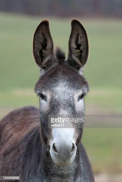 Âne tête avec les oreilles, âne gris vue de devant