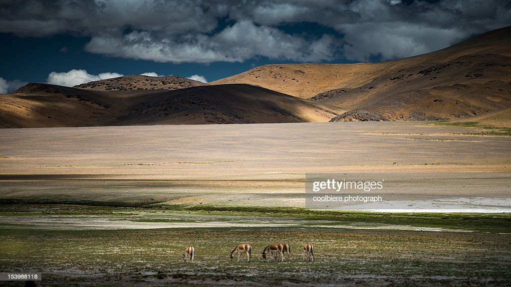 Donkey herds on grass field : Stock Photo