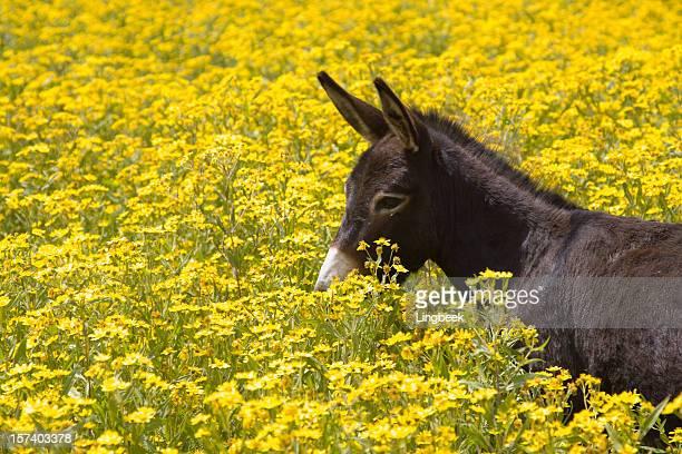 Âne dans Flowerfield, Ethiopie