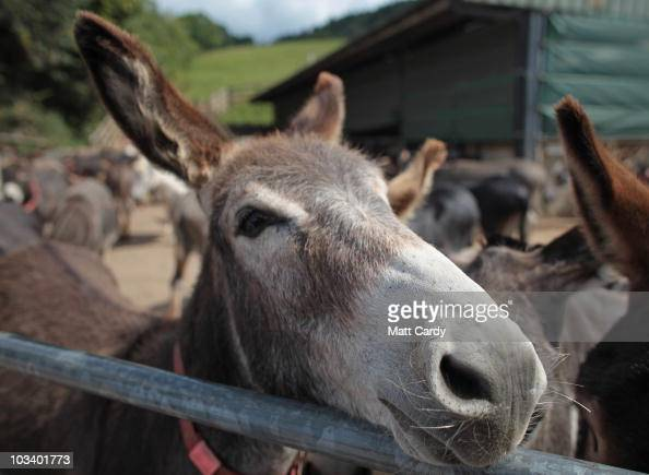 A donkey looking to be rehomed stands in the yard at the farm he is being cared for near the Donkey Sanctuary on August 16 2010 near Sidmouth England...