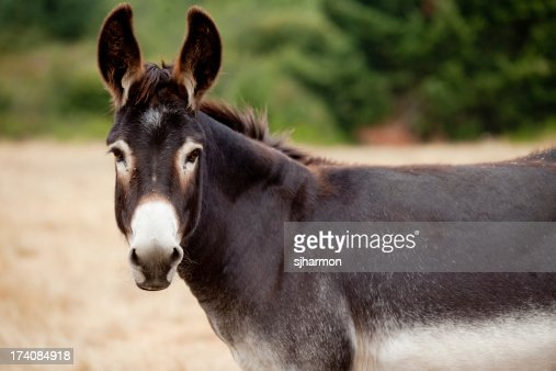Donkey Mule Looking At Camera from Meadow or Pasture