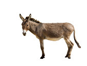 Donkey isolated on white