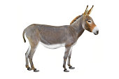 Donkey isolated a on white background