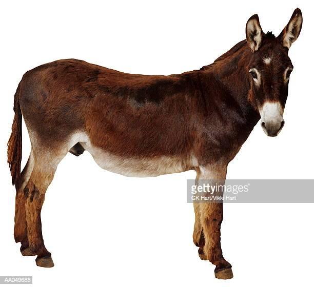 Donkey (Equus sp.)