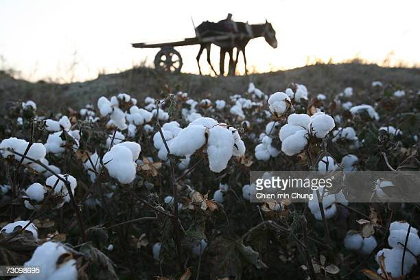 A donkey rests next to cotton fields on October 20 2005 in the Xinjiang Uyghur Autonomous Region city Maigaiti China Xinjiang is one of China's...