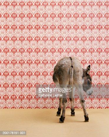Donkey (Equua asinus) standing in studio, wallpaper in background