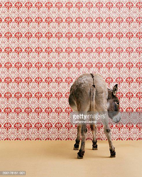 Donkey (Equua asinus) standing in studio, wallpaper in background