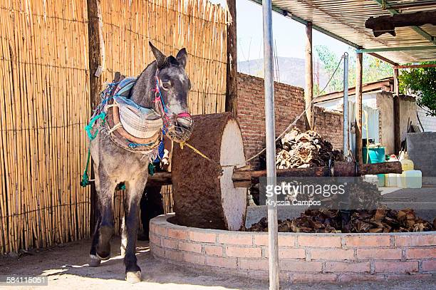 Donkey turning stone mill moved in Mexico
