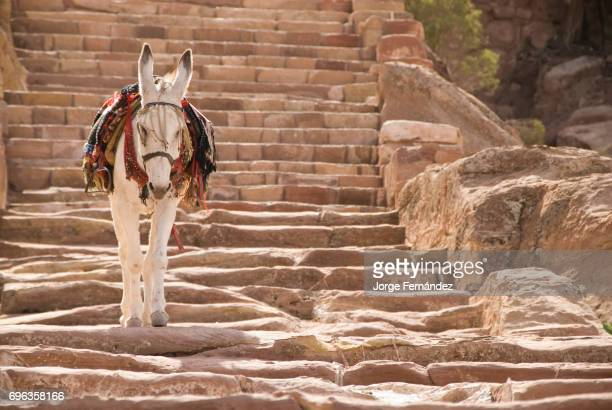 Donkey walking down the stairs from the mountains of Petra